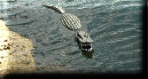 Floating Aligator